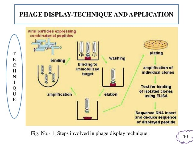 application of phage display technique