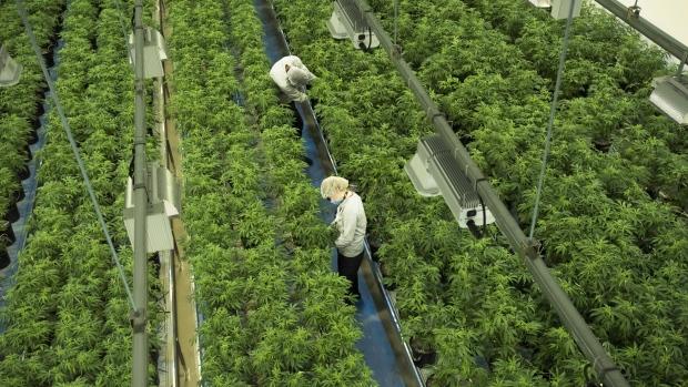 canada medical marijuana grower application